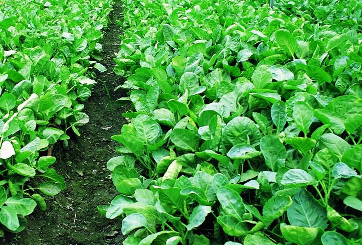 芥兰-居家生活离不开的蔬菜种类排行榜