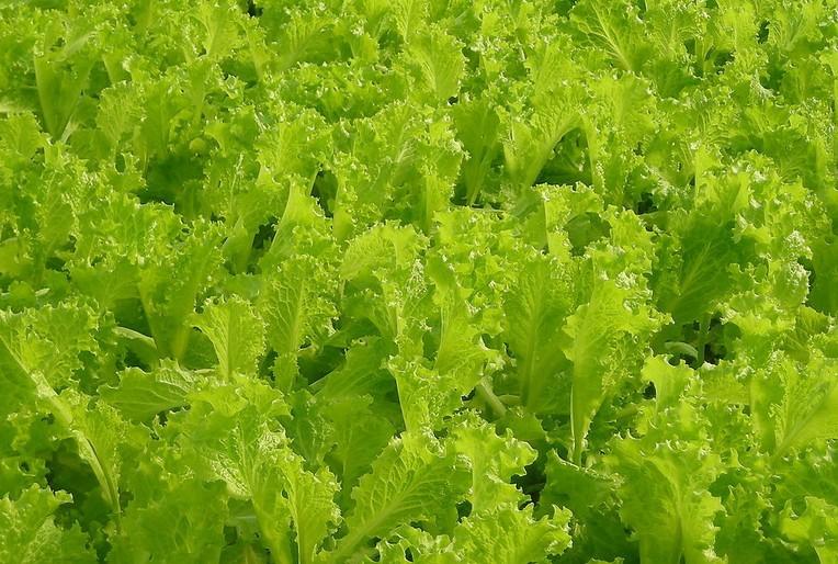 生菜(白苣,叶用莴苣)-居家生活离不开的蔬菜种类排行榜